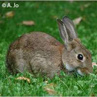 Shrinking rabbit population poses threat for carnivore species