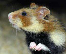 Small furry mammals partial to a daily dose of hibernation in winter are probably extending their lifespan