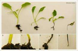Soil bacteria plant bodyguards against fungal infections