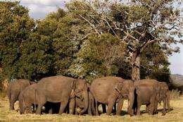 Sri Lanka begins 1st countrywide elephant census (AP)