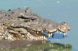 Study: Wild Cuban crocodiles hybridize with American crocs