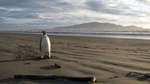 The appearance of an Emperor penguin in New Zealand has astonished wildlife experts