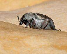 This Beetle Uses Eggs as Shields Against Wasps