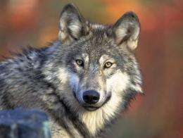 This photo courtesy of the US Fish & Wildlife Service shows the Gray wolf