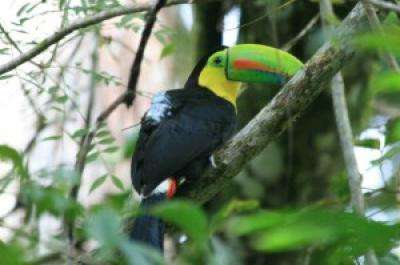 Toucans wearing GPS backpacks help Smithsonian scientists study seed dispersal