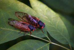 Two cicadas sit on a leaf at a forest preserve in Willow Springs, Illinois