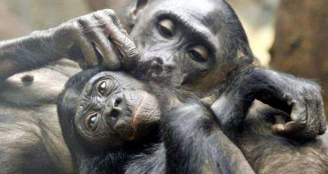 Two pygmy chimpanzees check for fleas at the zoo in Frankfurt/M., western Germany