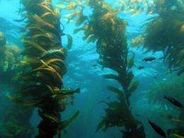 UCSB scientists track environmental influences on giant kelp with help from satellite data