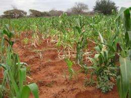 Untapped crop data from Africa predicts corn peril if temperatures rise