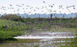 Wild ducks take off from a pond at a bird sanctuary in the town of Candaba