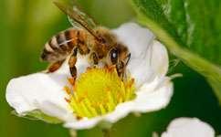 Wild pollinators contribute more than honeybees