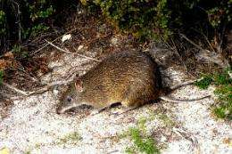 World's rarest marsupial clambering back