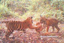 WWF's camera traps recorded 404 photos of wild cats, including 226 of Sumatran tigers