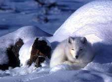 Ancient bones reveal paths of arctic fox migration