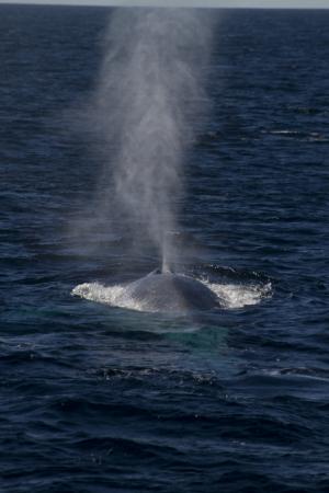 Australian blue whales now call Antarctica home