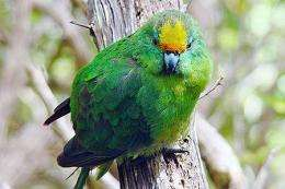 Critically endangered parakeets back from the brink on Maud Island