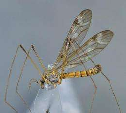 DNA barcoding verified the discovery of a highly disconnected crane fly species