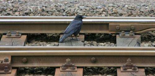 File photo of a blackbird foraging for food on railway tracks