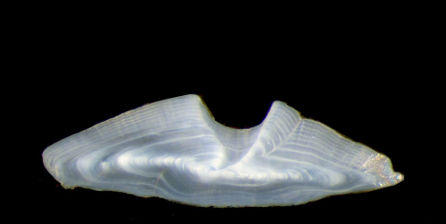 Fish ear bones point to climate impacts