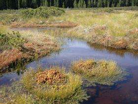 How shrubs are reducing the positive contribution of peatlands to climate