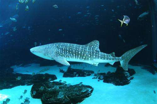 New whale shark study used metabolomics to help understand shark and ray health
