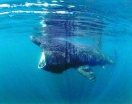 Public sightings suggest increase in basking sharks in British waters