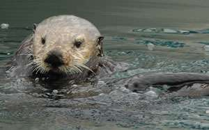Recovery slows for California's sea otters, 2012 survey shows