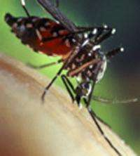 Researchers discover novel anti-viral immune pathway in the mosquito