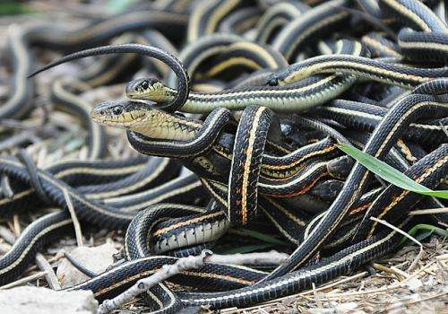 The power of estrogen -- male snakes attract other males