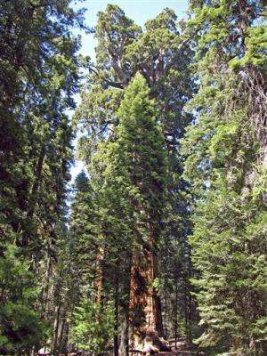 Upon further review, giant sequoia tops a neighbor