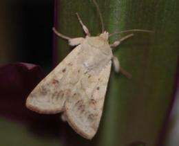 Virgin male moths think they're hot when they're not