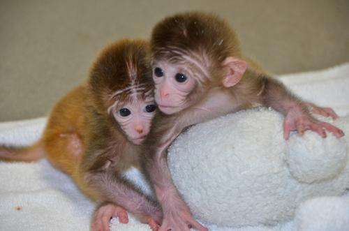 World's first chimeric monkeys are born