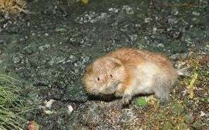 Research shows lemmings were wiped out by Ice Age's climate change