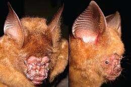 Scientists discover new species of roundleaf bat in Vietnam