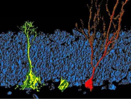 Lipid metabolism regulates the activity of adult neural stem cells