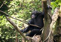 Chimp populations show great genetic diversity, with implications for conservation