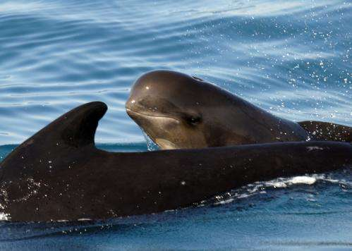 Pilot whales use synchronised swimming when they sense danger