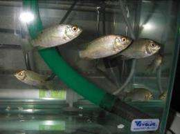 Producing artificial bones from fish scales