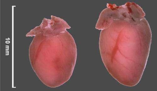 Researchers prevent heart failure in mice