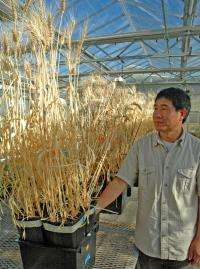 AgriLife Research study seeks to pinpoint wheat drought-tolerance mechanisms