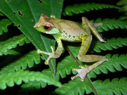An undated handout picture from WWF shows a singing frog. It was discovered in high-altitude forests of north Vietnam