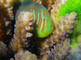 Bodyguard fish: Corals attacked by toxic seaweed use chemical 911 signals to summon help