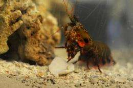 Unique structure of fist-like club of mantis shrimp could tranform body armor materials