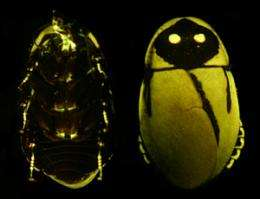 Researchers seek to explain why there are so few land dwelling bioluminescent species