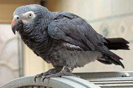 Researchers find Grey parrots able to use inferential reasoning