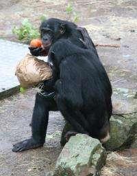 Anthropologist studies reciprocity among chimpanzees and bonobos