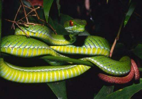 An undated handout picture from WWF shows a ruby-eyed pit viper discovered in forests in southern Vietnam