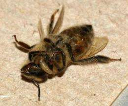 Citizen scientists needed for SF State's 'ZomBee Watch'