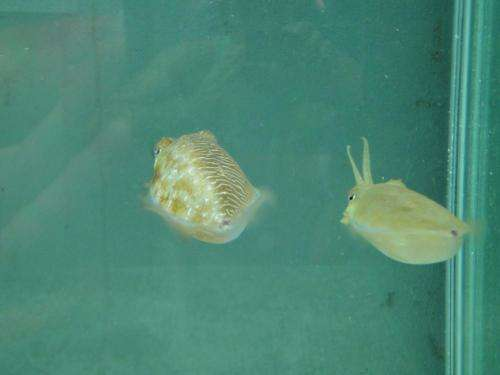 Researchers discover cuttlefish able to mimic female on half its body (w/ Video)
