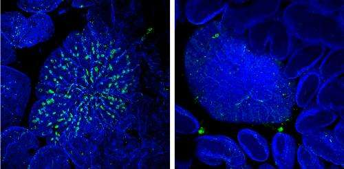 Identification of developmental 'master switch' helps scientists explore function of infection-preventing cells